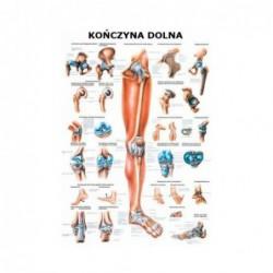 Tablica anatomiczna ścienna KOŃCZYNA DOLNA